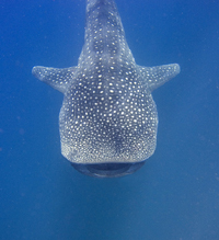 requin baleine © jon hanson @ flickr - licence Creative Commons BY-SA